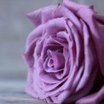 特別な贈りものに「青いバラ」はいかが?